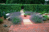 Lavandula angustifolia lavender herbs growing against green hedge on brick patio, in circle design