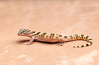 A Western Banded Gecko (Coleonyx variegatus) hunting for prey. Tucson, Arizona.