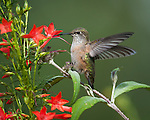 Rufous hummingbird (juvenile) at the gilia flowers in the garden