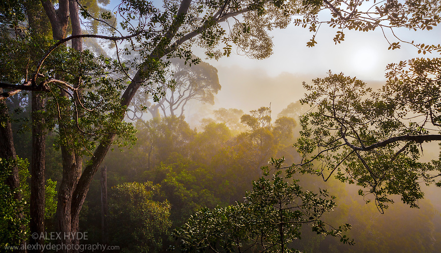 Rainforest canopy at dawn, viewed from canopy platform. Maliau Basin, Sabah, Borneo, Malaysia.