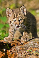Baby Bobcat standing on an old log - CA