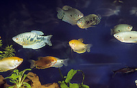 """Marmorierter Fadenfisch und Goldener Fadenfisch, Goldgurami, Zuchtform von Gepunkteter Fadenfisch, Punktierter Fadenfisch, Blauer Fadenfisch, Trichopodus trichopterus, Trichogaster trichopterus, """"cosby"""" and """"gold"""", Cosby gourami and Gold gourami, three spot gourami, blue gourami, Le Gourami bleu, Labyrinthfische, Fadenfische, Anabantoidei"""