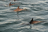 Stock Photograph of Common Dolphin in Natural Habitat