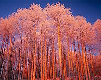 Icy Aspen Trees, La Sal Mountains, Utah   Mant-La Sal National Forest   Populus Tremuloides  Aftermath of sutum ice storm