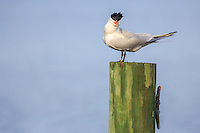 Royal Tern on a dock in Duck NC.