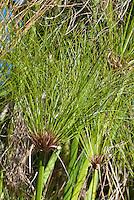Cyperus papyrus King Tut water plant