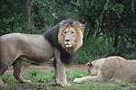 Foto: VidiPhoto<br /> <br /> PRETORIA (ZA) - De leeuwentuin in de buurt van Pretoria in Zuid-Afrika trekt dagelijks veel toeristen. Bezoekers mogen er namelijk met leeuwenwelpen of tamme leeuwen op de foto. De dieren mogen ook geaaid worden. In Zuid-Afrika leven zo'n 6000 dieren in gevangenschap die gefokt worden voor de jacht of het toerisme. Deze leeuwentuinen liggen op dit moment enorm onder vuur, mede door de ophef rond het afschieten van leeuw Cecil in Zimbabwe. Doordat jagers uit met name de VS enorme bedragen neertellen voor het doodschieten van een leeuw, is het fokken van dieren in gevangenschap een lucratieve bezigheid.