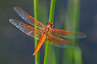 389310026 a wild male flame skimmer libellula saturata perches on a cat-tail reed over cosa pond 2 in bishop california