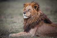 Head and shoulders of a full maned Marsh Pride male lion lying on grass with vignetting, Mara, Kenya, Africa (photo by Wildlife Photographer Matt Considine)
