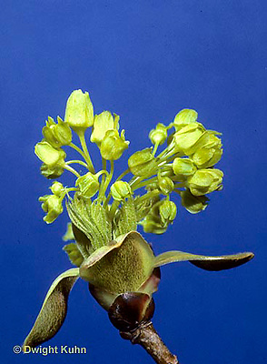 MP05-001c  Sugar Maple - flowers - Acer saccharum