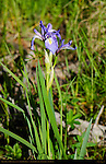 Rocky Mountain Iris, Iris missouriensis, Camp May Trail, Pajarito Mountain, Los Alamos, New Mexico