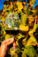 Pinot Noir Wine glass held up by hand to fall colored grapevine with cluster of grapes in this soft-focus Orton effect rendering.