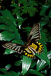 Birdwing butterfly Troides magellanus magellanus female