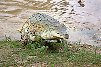 Orinoco Crocodile (Crocodylus intermedius) emerging from water, Los Lianos, Venezuela