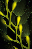 Close up of giant kelp frawns, Macrocystis Pyrifera.