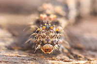 A frontal view of the head of a Common Fungus Moth (Metalectra discalis) caterpillar.