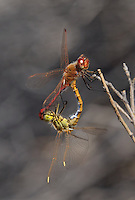 362740007 a mated pair of wild saffron-winged meadowhawks sympetrum costiferum perch on a desert plant near de chambeau ponds mono county california united states