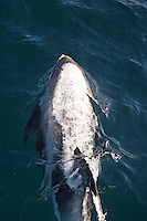 Aerial view of White beaked Dolphin, Lagenorhynchus albirostris, breathing out just under surface. Spitzbergen, Arctic Norway, Barents sea North East Atlantic.