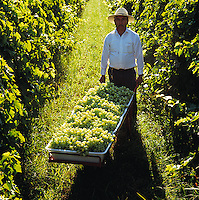 Agriculture - Field worker with a cart of harvested Thompson Seedless grapes in the vineyard / Fresno County, California, USA.  MR