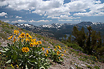 """Pronounced """"Mice and Mules"""" This image of Mules Ear Plant was taken on Ridge above Meiss Meadow/Lakes looking south near Carson Pass Highway 88 CA when the wildflowers were in full bloom."""
