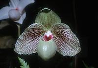 Paphiopedilum Ma Bell 'Jamboree', HCC/AOS awarded orchid hybrid slipper orchid, malipoense x bellatulum hybrid, bubble gum orchid