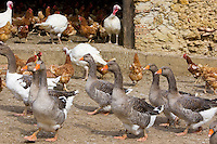 Geese, hens and turkeys, Gascony, France. Free-range birds may be at risk if Avian Flu (Bird Flu Virus) spreads