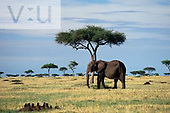 An African Elephant ,Loxodonta africana, Masai Mara Game Reserve, Kenya