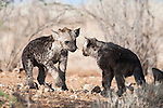 Spotted hyena, Crocuta crocuta,cubs playing, Kgalagadi Transfrontier Park, Northern Cape, South Africa