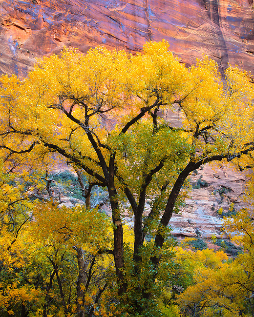 A cottonwood tree in autumn. Zion National Park in southwestern Utah.