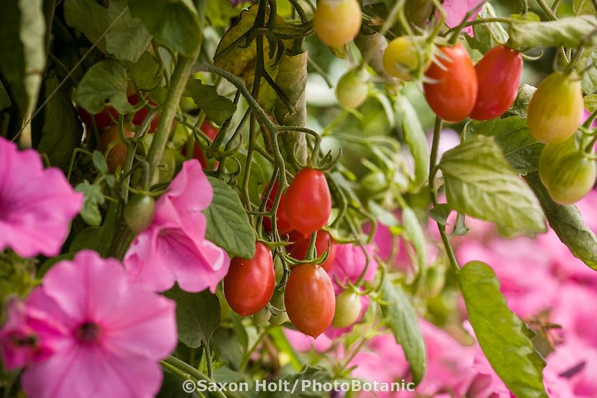 Cherry Tomato 'Sugary' in organic vegetable garden with pink petunias (Supertunia 'Vista Bubblegum' )