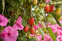 Cherry Tomato 'Sugary' in organic vegetable garden with pink petunias (Supertunia 'Vista Bubblegum' )