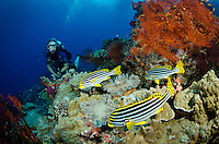 Vicki Liles observes a trio of Oriental Sweetlips, Plectorhinchus vittatus. Vatu-i-ra, Bligh Water, Fiji, Pacific Ocean