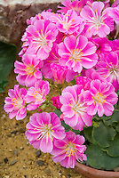 Lewisia cotyledon - pink flowers, native American wildflower, western states