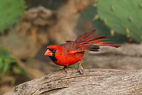511650100 a wild male northern cardinal cardinalis cardinalis perches on a log on dos venadas ranch starr county rio grande valley texas united states