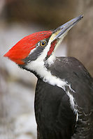 Pilleated Woodpeckers