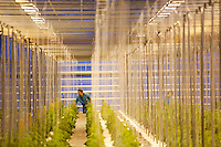 Women prune young cucumber plants in a greenhouse at the Alekseevskii state farm outside Ufa, Bashkortostan, Russia.  The farm employees about 1,500 people.
