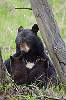 Wild Black Bear (Ursus americanus) mom nursing two young cubs.  Western U.S., Spring.