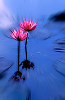 Abstract Flowers, Waterlily, The Twins