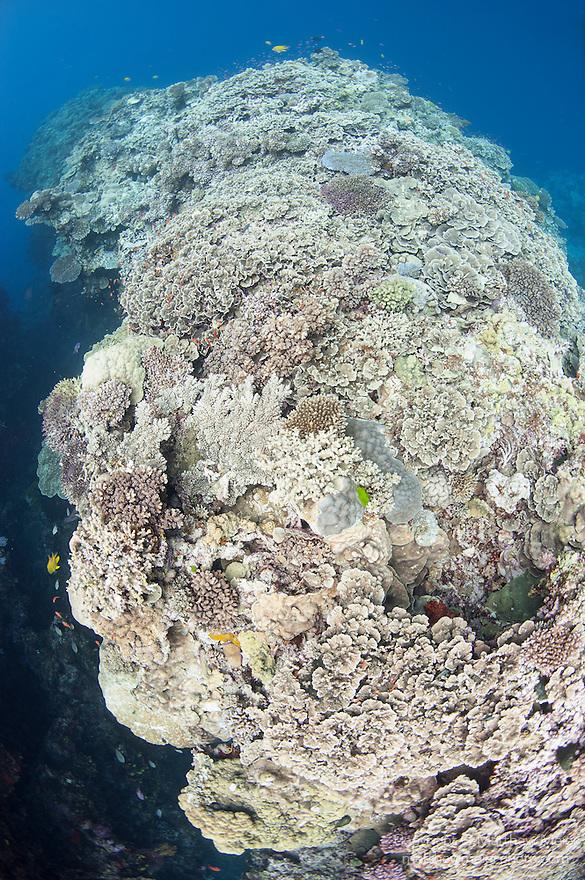 Bligh Waters, Rakiraki, Viti Levu, Fiji; a large expanse of hard coral reef growing on a ledge near a sheer wall dropoff