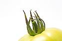WA11123-00...WASHINGTON - Green tomato.