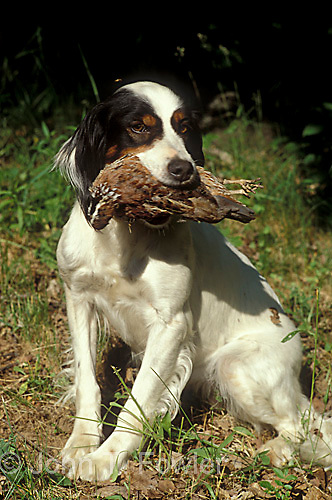 English setter bird dog retieving bob white quail