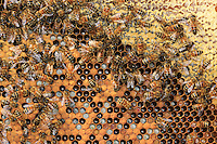Honeybees on a comb of honey and brood.