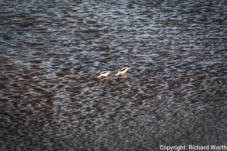 Two American avocets, heads dipped into the water, feeding at a pond adjacent to San Francisco Bay.