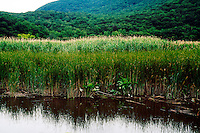 WETLANDS<br /> Cattails &amp; Reedgrass<br /> Typha augustifolia, Iona Island, NY