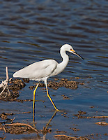 Snowy Egret wading in shallow water in Everglades