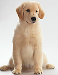 Humorous portrait of a winking Golden Retriever 4 month old puppy isolated on white background