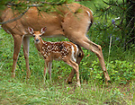 Curious newborn fawn staying close to her mother for protection