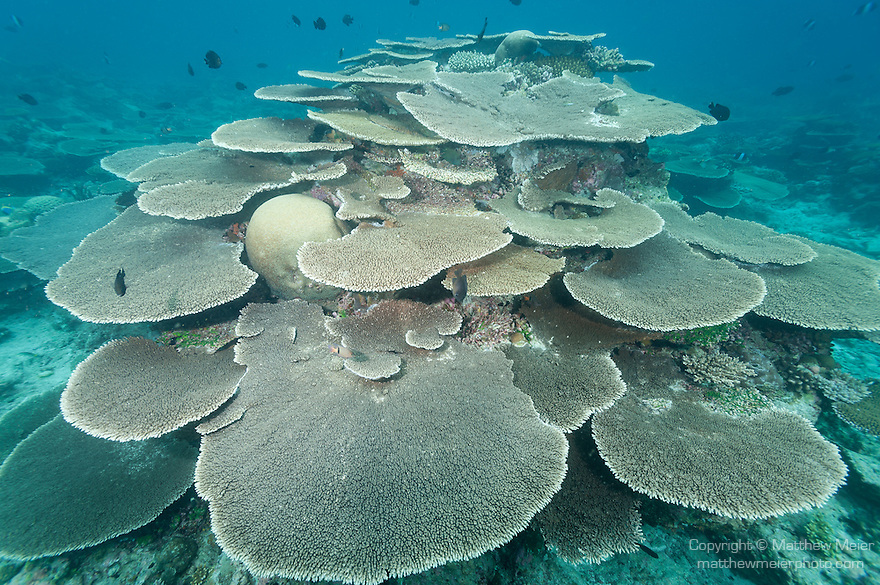 Rakeedhoo Island, Felidhoo Atoll, Maldives; a large number of plate corals (Acropora sp.) surround a coral bommie in shallow water