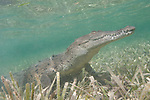 Gardens of the Queen, Cuba; an American Crocodile raises it's head while laying on the sandy bottom amongst the sea grass