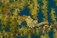 RA75050-D. Pygmy Seahorse (Hippocampus bargibanti). Only 1cm long. Camouflages brilliantly with sea fan. This yellow morph is less common than red/pink. Philippines. Tropical Indo-Pacific oceans.<br /> Photo Copyright &copy; Brandon Cole. All rights reserved worldwide.  www.brandoncole.com